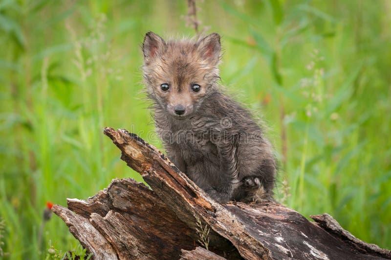 Набор лисицы лисицы красного Fox сидит на журнале стоковые фотографии rf