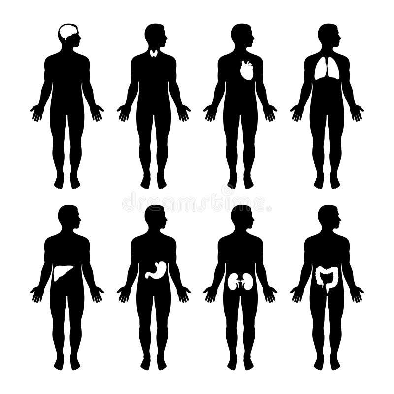 Набор мужских силуэтов Нервные внутренних органов человеческого тела циркуляторные и скелетные системы анатомия и educativ физиол иллюстрация штока