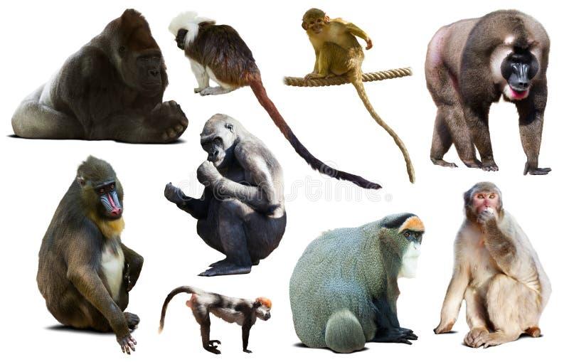 набор различных обезьян стоковые фотографии rf