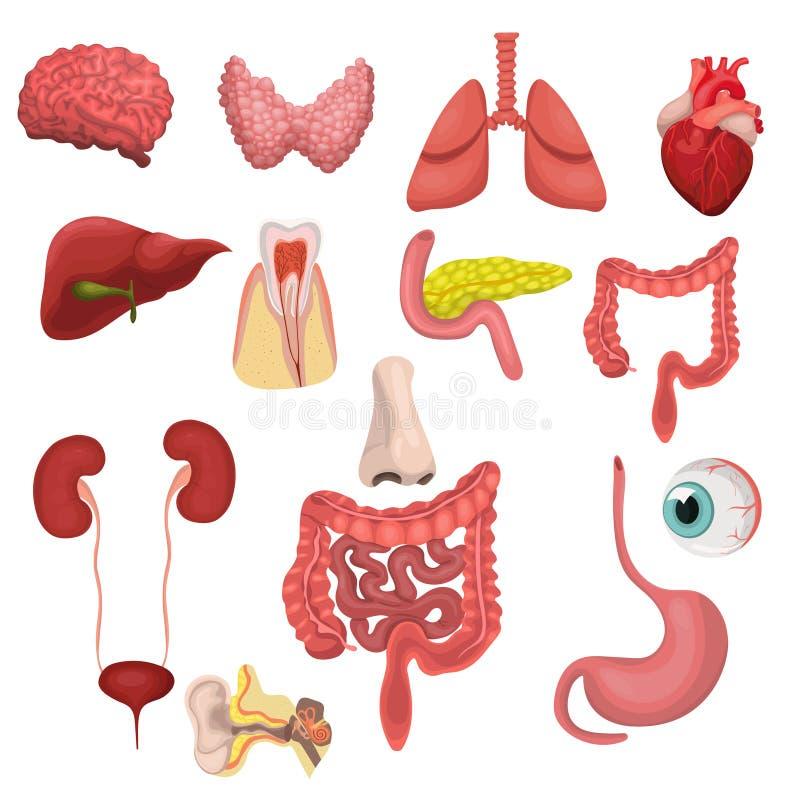 Набор человеческих органов Изображение вектора изолированное на белой предпосылке бесплатная иллюстрация