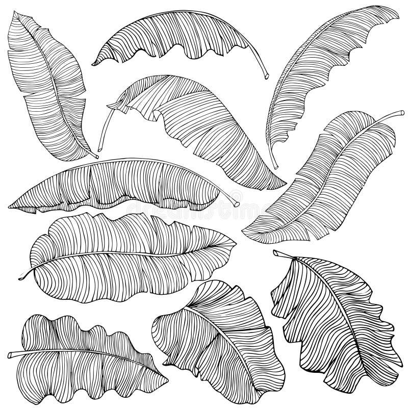 Набор экзотических, белых листьев банана с черные планы, изолированные на белой предпосылке Декоративное изображение с тропическо иллюстрация вектора