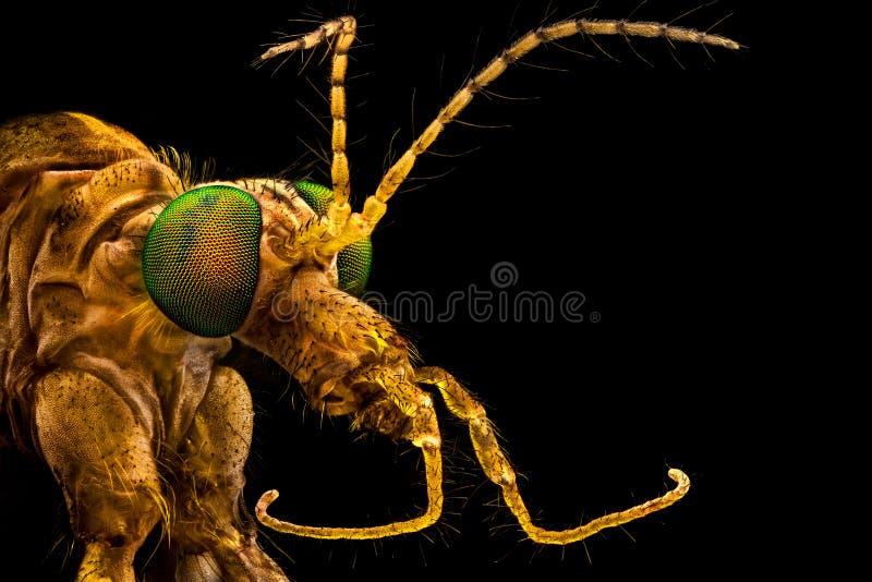 Наблюданная зеленым цветом муха крана стоковое изображение rf