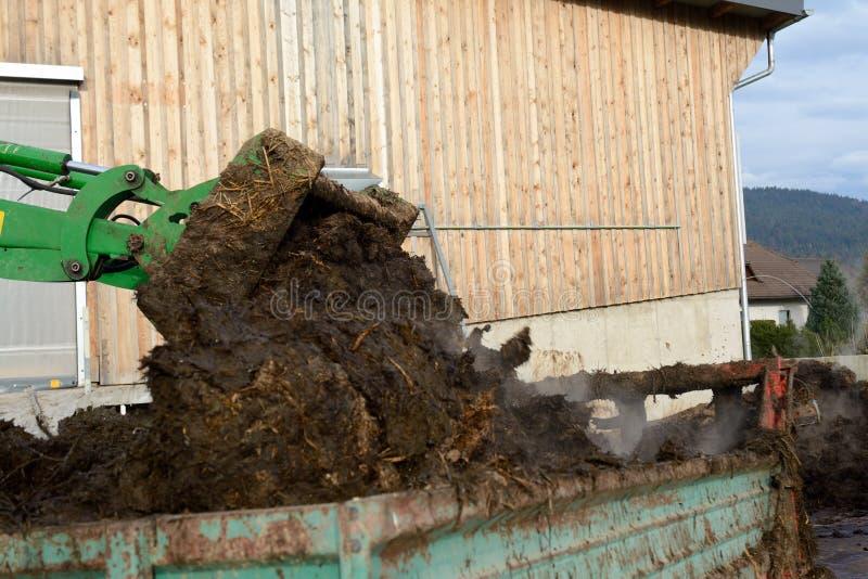Навоз коровы нагружен в распространители позема стоковые изображения