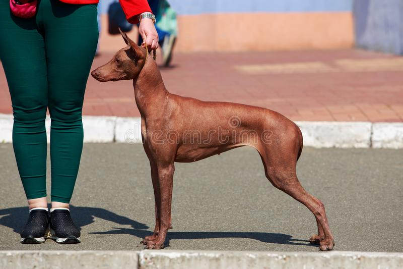 Нагая собака Inca стоковая фотография