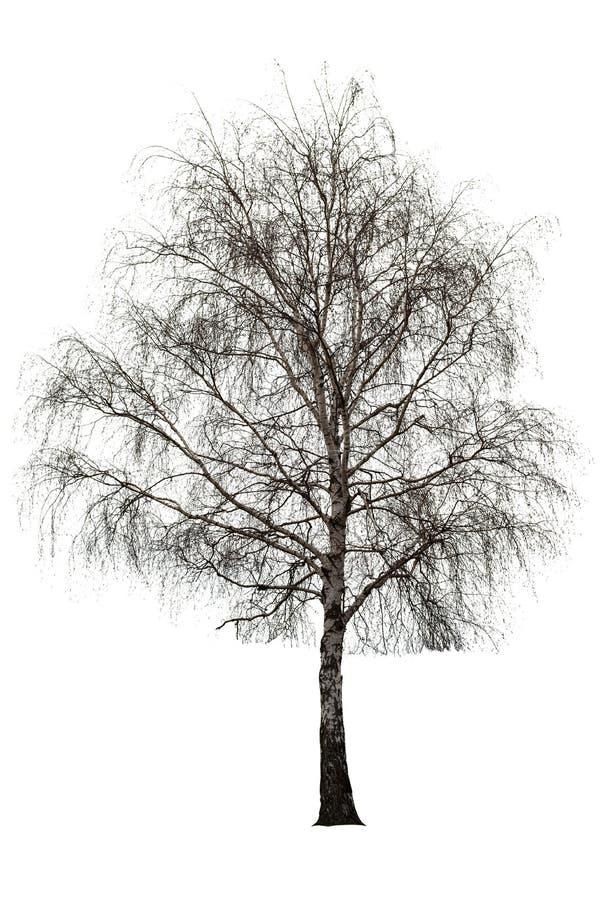 Нагое дерево березы на белизне стоковое фото rf