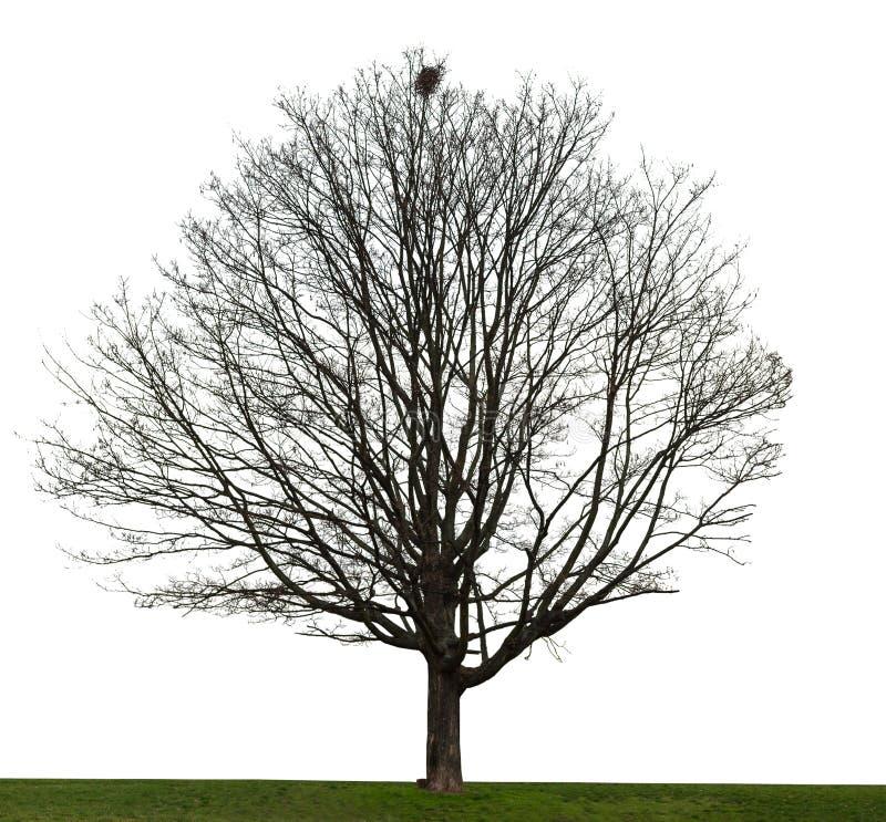 Нагое дерево на белизне стоковая фотография