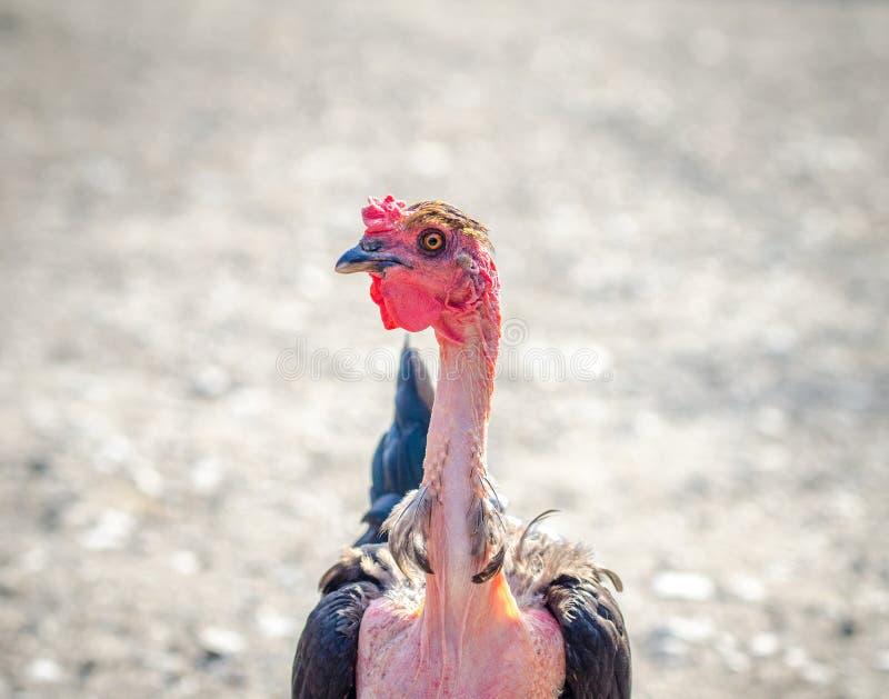 Нагой цыпленок шеи в близком взгляде портрета стоковое изображение rf