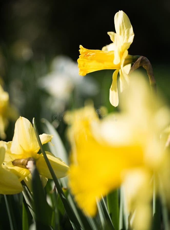 Надежда весны Цветя заводы narcissus Цветки Daffodil на солнечный день Цвести цветки на поле весны yellow стоковое изображение
