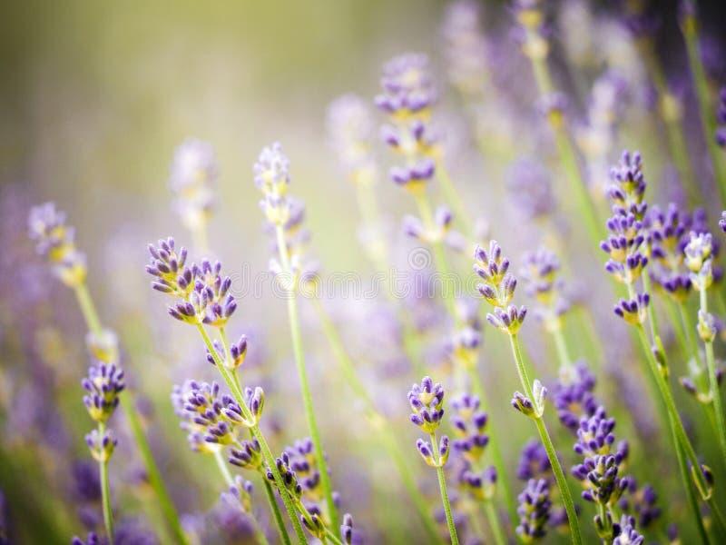 Надушенные цветки лаванды в поле Провансали стоковые фото