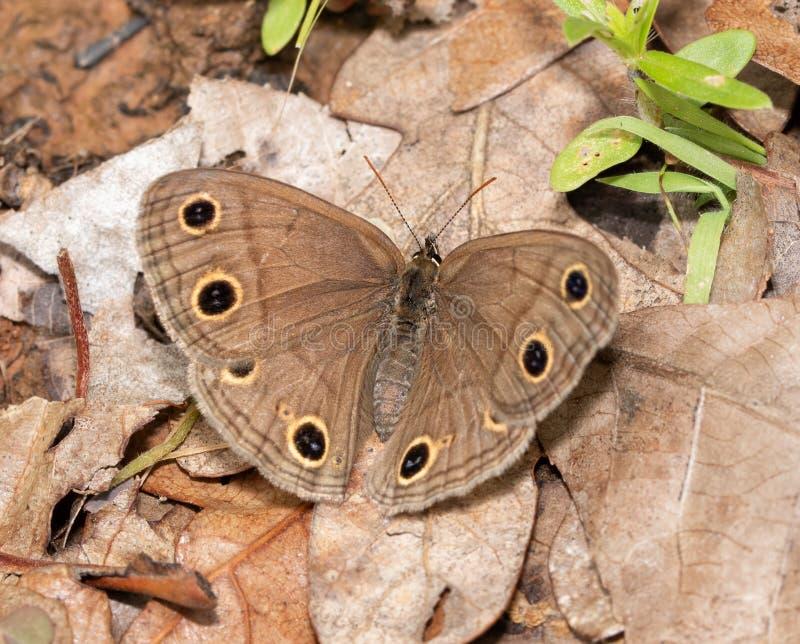 Надфюзеляжный взгляд маленькой деревянной бабочки сатира отдыхая на мертвых лист стоковое изображение rf