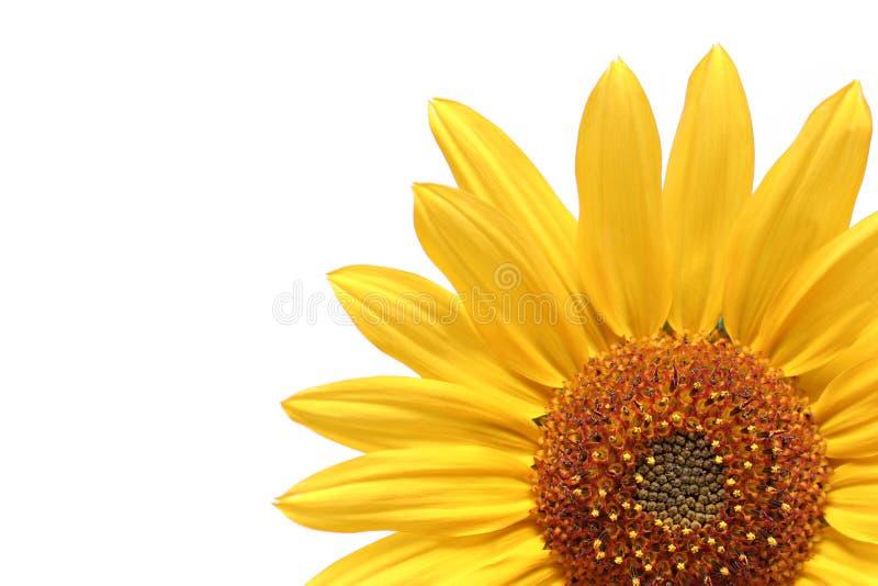 над белизной солнцецвета стоковое изображение