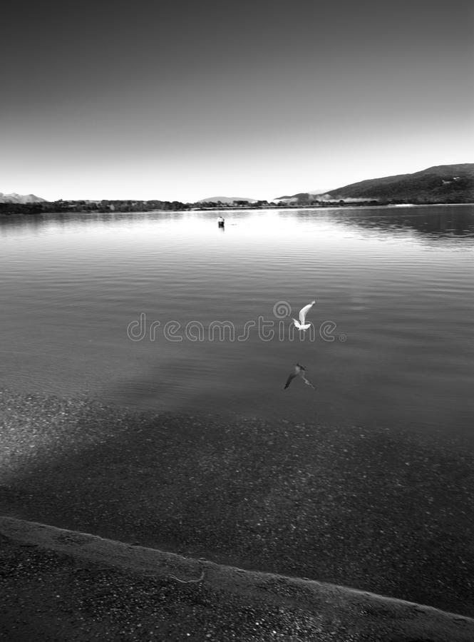над поверхностью seabird озера летания стоковая фотография rf