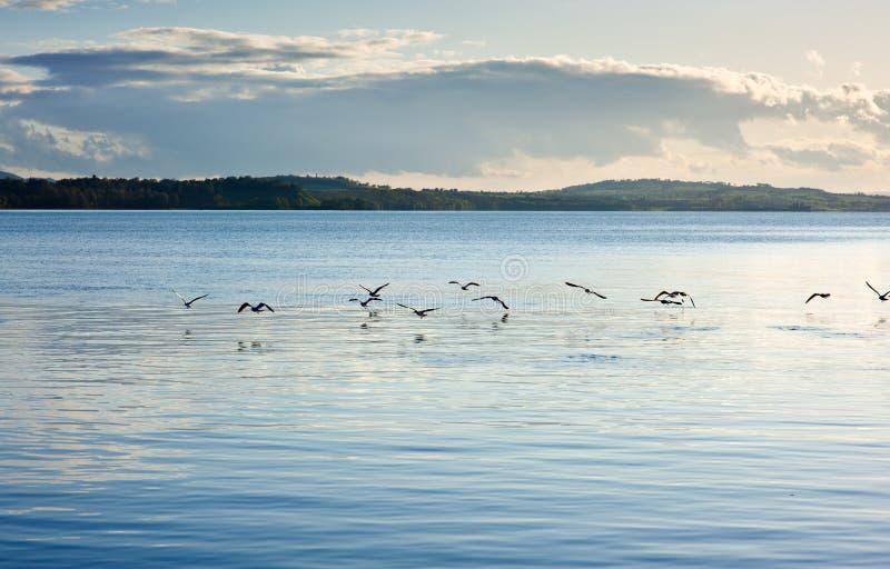 над поверхностью seabird озера летания стоковые изображения
