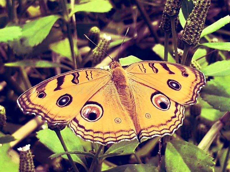 Назад-желтая бабочка стоковое изображение rf
