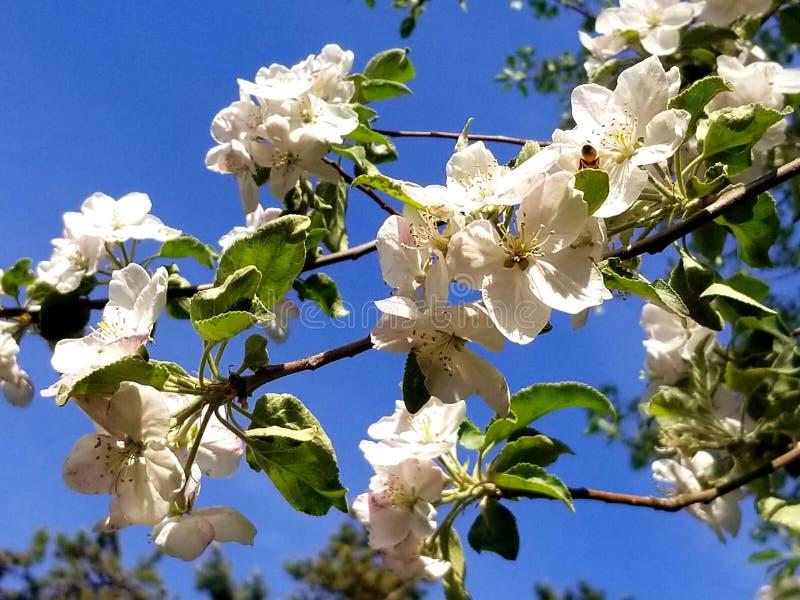 Найдите пчела, весна Redmond 2018 Орегон стоковые изображения rf