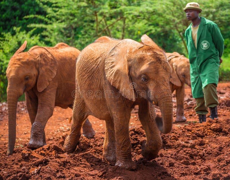 НАЙРОБИ, КЕНИЯ - 22-ОЕ ИЮНЯ 2015: Один из работников наблюдающ, что молодые orphant orphant слоны сыграли в грязи стоковое фото