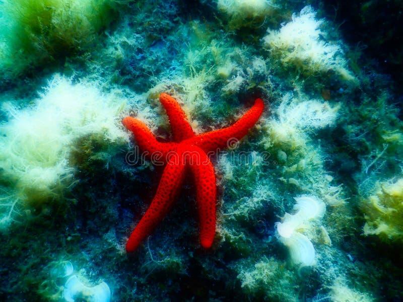 Накаляя морская звёзда в среднеземноморском против туманной предпосылки стоковые фотографии rf