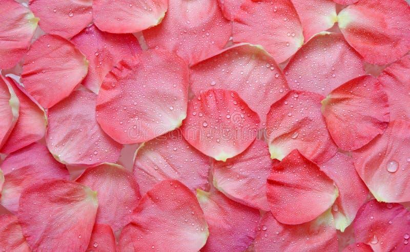 накапанная вода роз лепестка стоковое фото