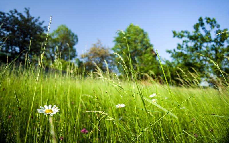Наклон перерастанный с травами луга с маргаритками против голубого неба стоковые фотографии rf