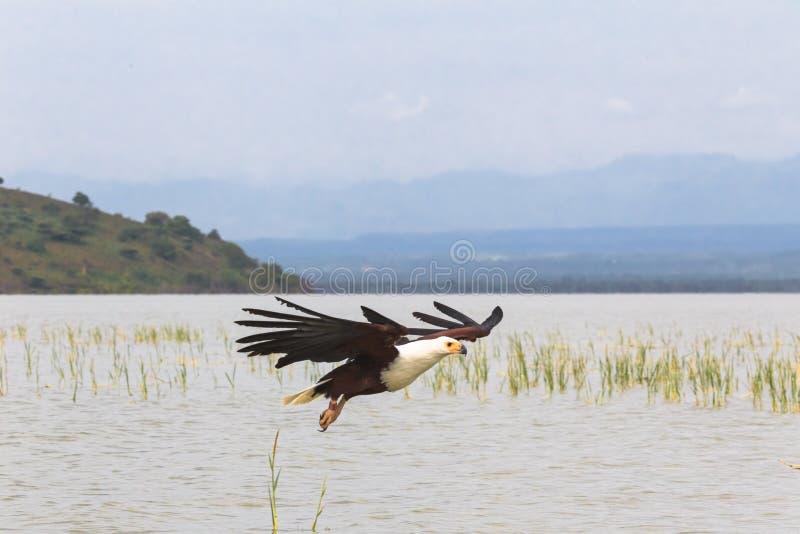 Налёт орла вниз на своей добыче Озеро Baringo, Кения стоковая фотография