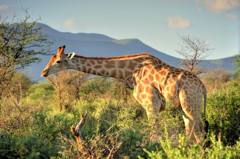Намибийский жираф стоковое изображение rf