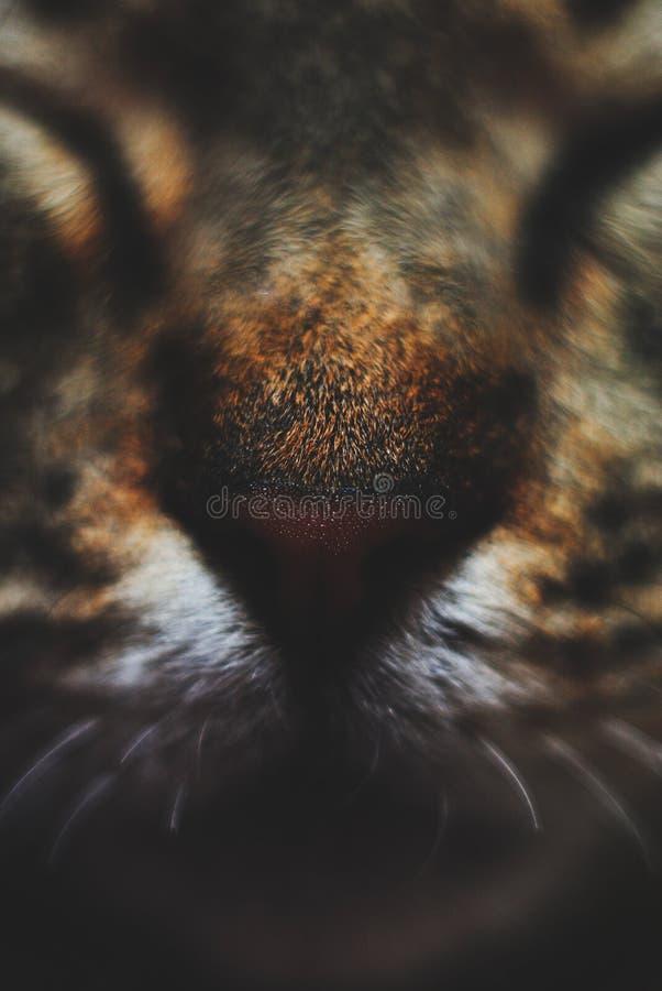 Намордник конца домашней кошки вверх стоковое фото rf