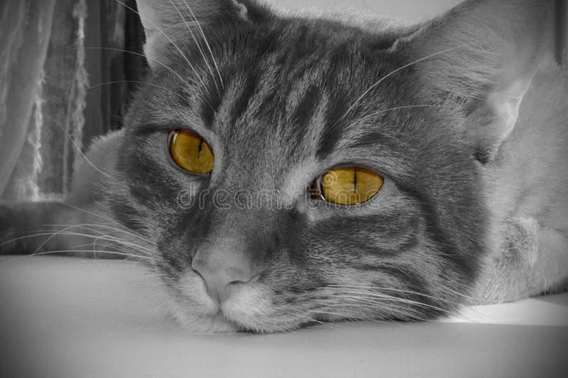 Намордник кота в черно-белом с желтыми глазами стоковое изображение rf