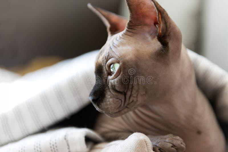 Намордник лысого кота с зелеными глазами в конце профиля вверх, любимец, порода Sphynx стоковое фото rf