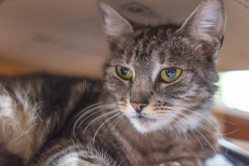 Намордник отечественного конца-вверх кота tabby стоковая фотография