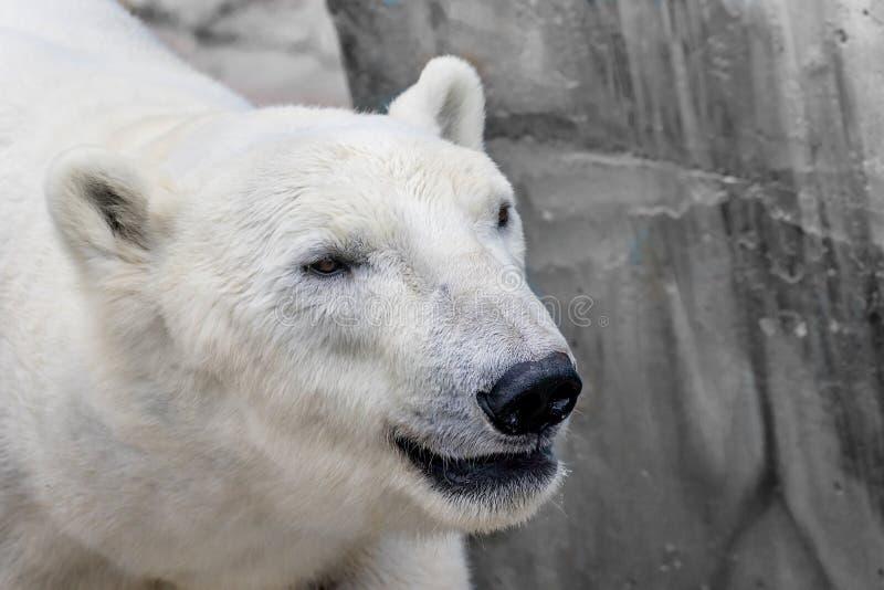 Намордник полярного медведя дикого животного стоковая фотография rf