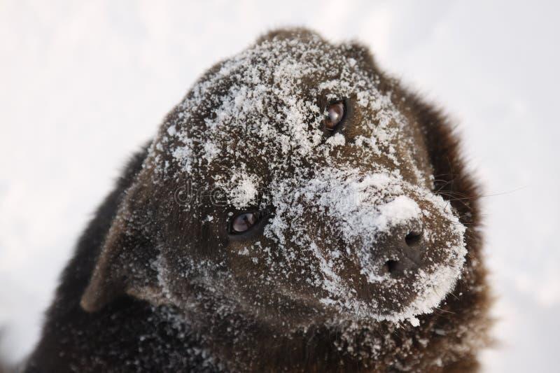 Намордник собаки покрытый с снегом стоковое фото rf