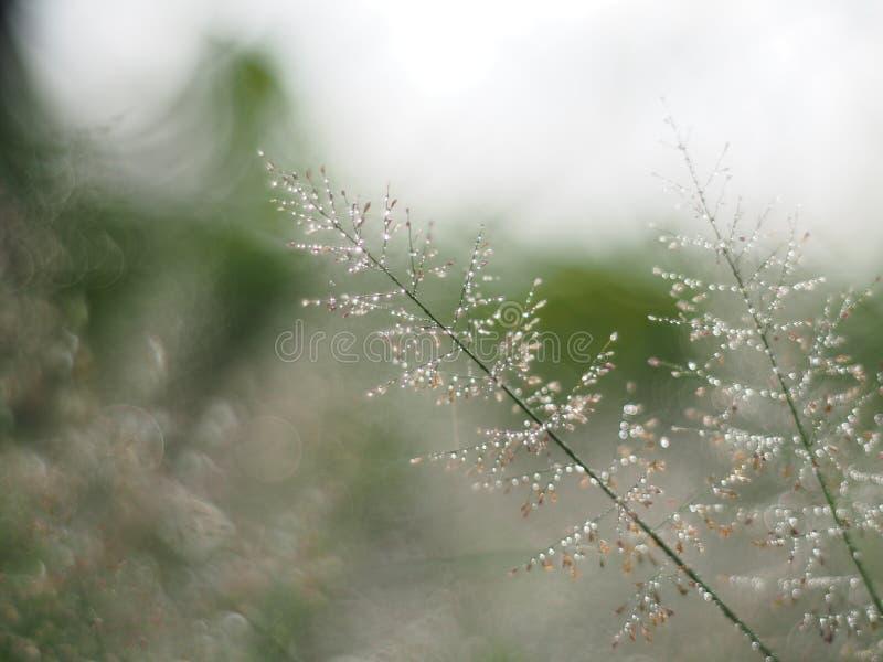 Намочите падения на солнечности и bokeh травы в сезоне дождей путем регулировать к небольшой нерезкости к воображению или мечте стоковое фото