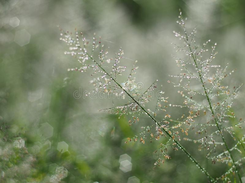 Намочите падения на солнечности и bokeh травы в сезоне дождей путем регулировать к небольшой нерезкости к воображению или мечте стоковое изображение