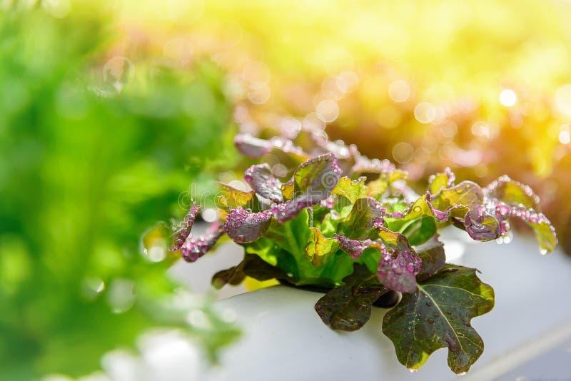 Намочите падение на красной ферме овоща гидропоники салата batavia стоковые изображения
