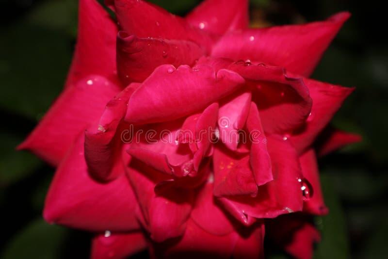 Намочите розовый макрос стоковое фото