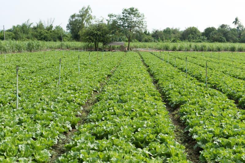 Намочите систему опылительного орошения в зеленом органическом огороде, Garde стоковые фотографии rf