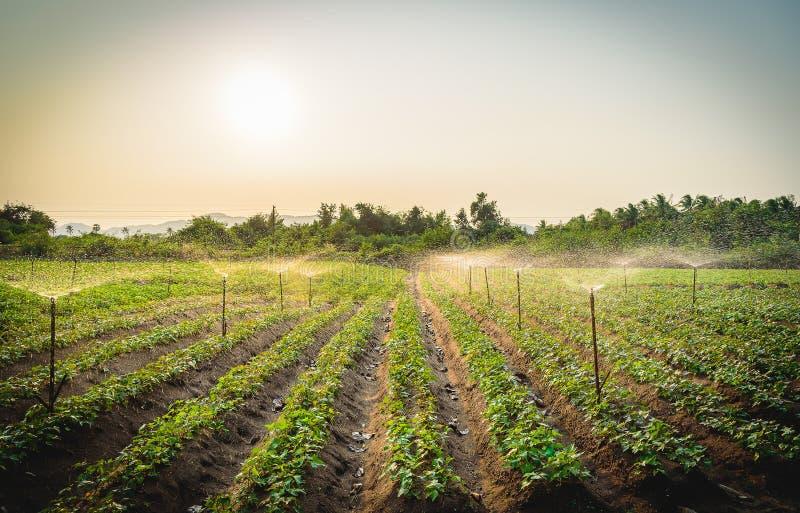 Намочите систему опылительного орошения работая в зеленом огороде стоковое фото