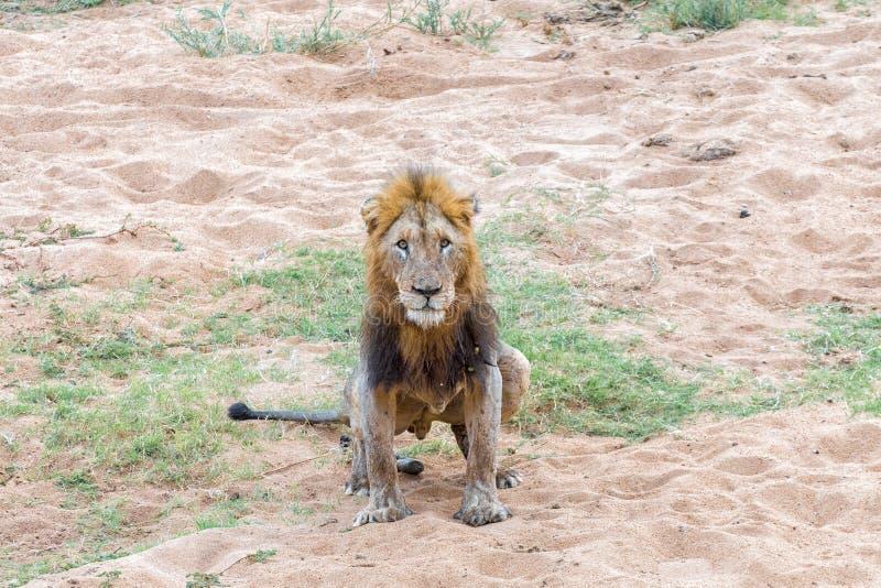 Нанесенный шрам мужской лев делая его омовения стоковое фото