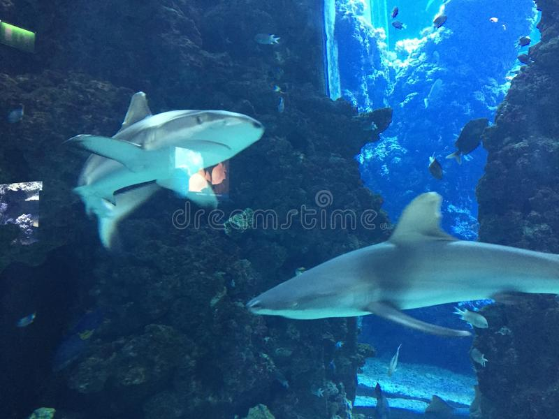 Нападение 2 акулы стоковые изображения rf