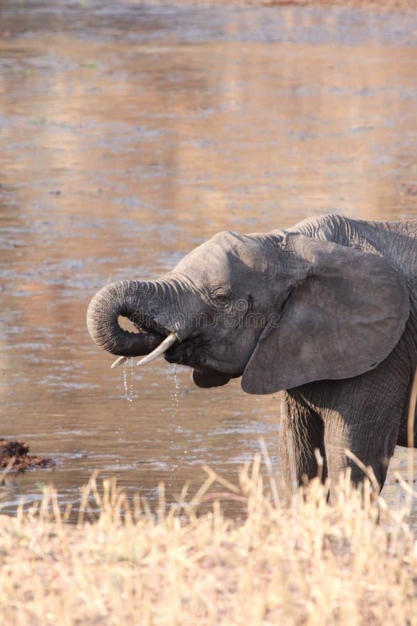 Напитки слона стоковое фото
