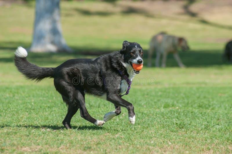 Напористая собака табунить имея потеху стоковые фото