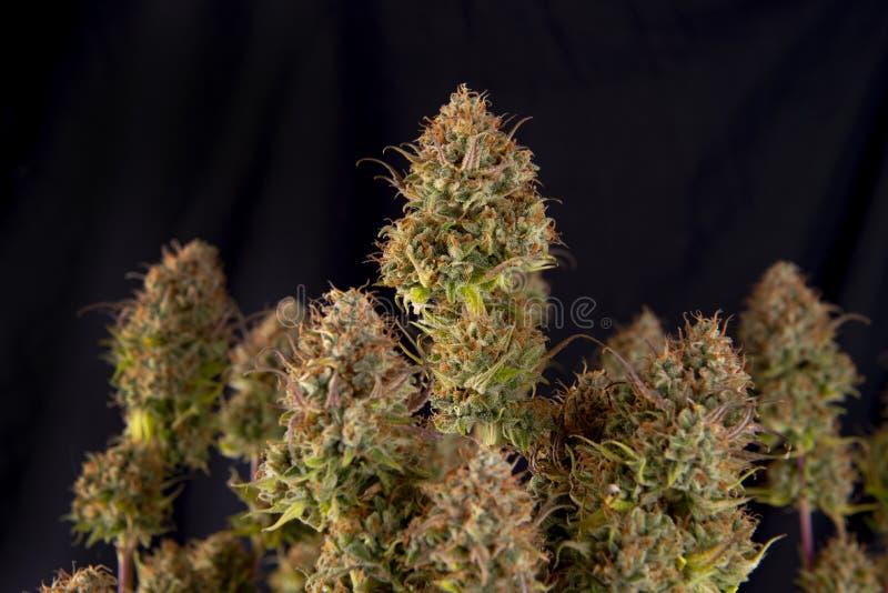 Напряжение марихуаны гангстера пинка оригинала завода конопли стоковое изображение