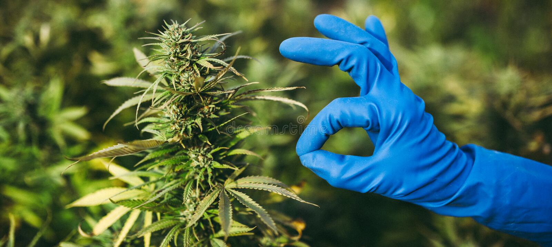 Напряжение марихуаны конопли популярное в Америке стоковые изображения rf