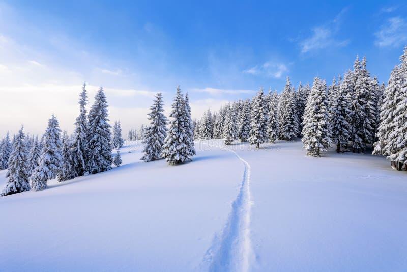 Напудренный с елями снега высокорослыми молчком предусмотрите удальца который делает путь до конца в дне холода зимы стоковое фото rf