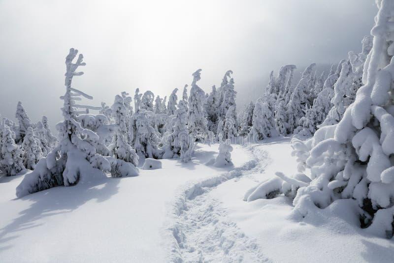Напудренный с елями снега высокорослыми молчком предусмотрите удальца который делает путь через туман в дне холода зимы стоковая фотография rf