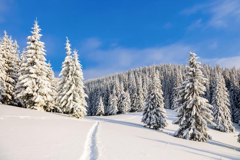 Напудренный с елями снега высокорослыми молчком предусмотрите удальца который делает путь до конца в дне холода зимы стоковые фотографии rf