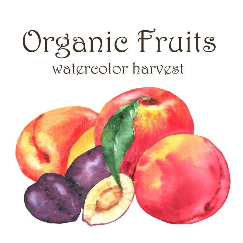 Нарисованная вручную иллюстрация акварели свежих зрелых плодоовощей - оранжевые персики, сливы и абрикосы иллюстрация вектора