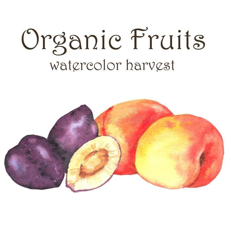 Нарисованная вручную иллюстрация акварели свежих зрелых плодоовощей - сливы и абрикосы иллюстрация штока