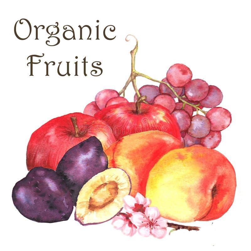 Нарисованная вручную иллюстрация акварели свежих зрелых плодоовощей - оранжевых абрикосов, яблок, виноградины, слив иллюстрация штока
