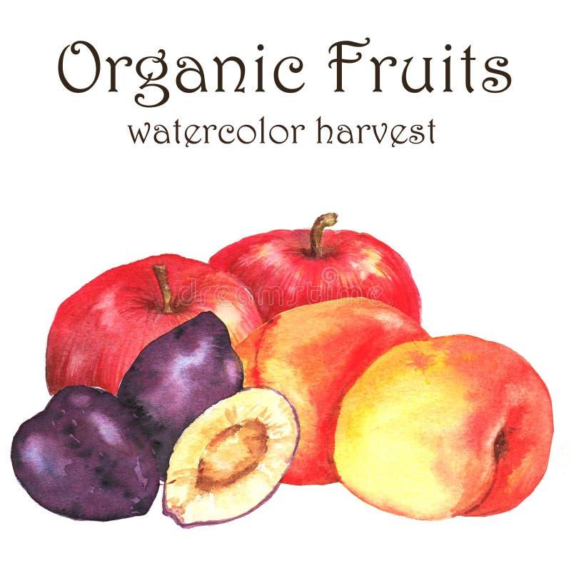 Нарисованная вручную иллюстрация акварели свежих зрелых плодоовощей - оранжевые персики, сливы и абрикосы иллюстрация штока